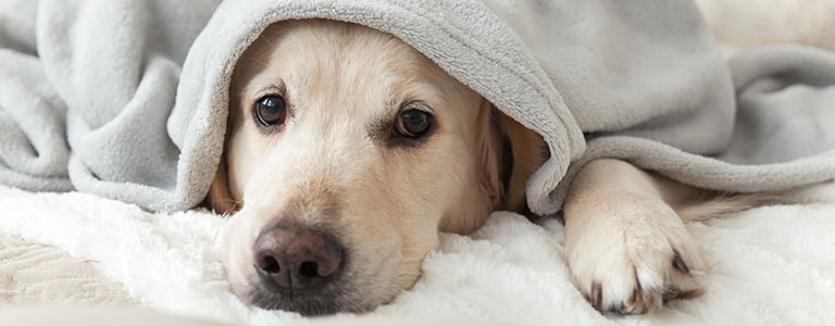 dog hiding under a blanket for warmth