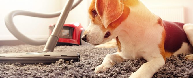 woman vacuuming a carpet next to her dog
